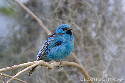 Northern Blue Dacnis (tanager)