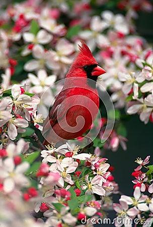 Free Northern Cardinal Stock Image - 1863761