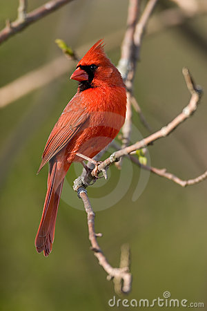 Free Northern Cardinal Stock Photography - 770242
