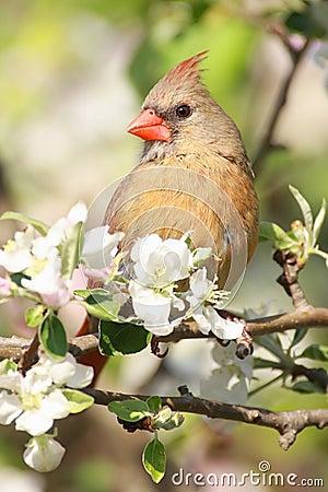 Free Northern Cardinal (cardinalis Cardinalis) Royalty Free Stock Photo - 5044285