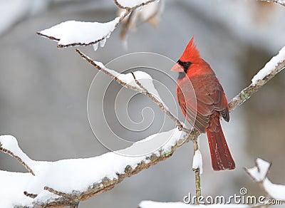 Northern Cardinal after snowstorm