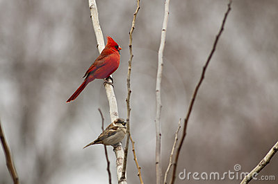 Northern cardinal and sparrow