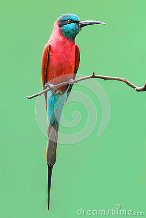 The Northern Carmine Bee-Eater (Merops nubicus).