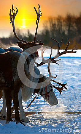 Northern deer
