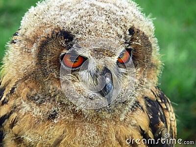 Northern eagle owl (Bubo Bubo)