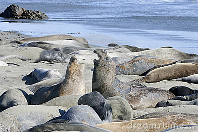 Northern elephant seal