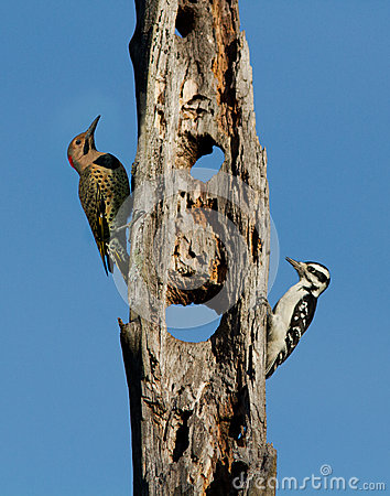 Northern Flicker and Hairy Woodpecker