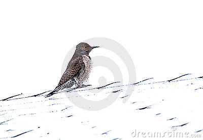 Northern Flicker Red Shafted Woodpecker Bird Femal