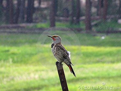 Northern Flicker (Woodpecker)