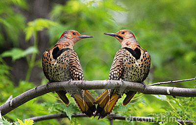 Northern Flickers in love