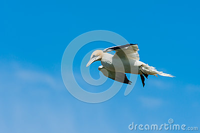 Northern gannet against a blue sky