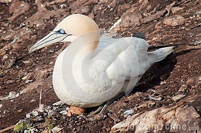 Northern gannet on egg
