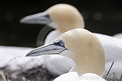 Northern Gannet (Morus Bassana), close-up