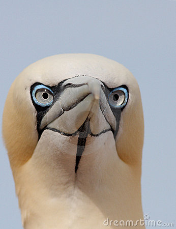 The Northern Gannet portrait