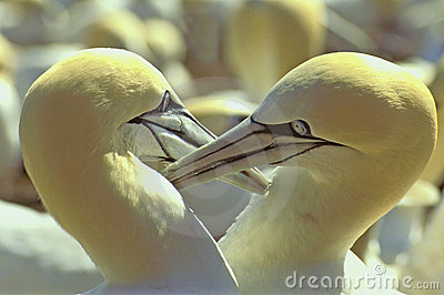 Northern Gannets courting - Gulf of St. Lawrence