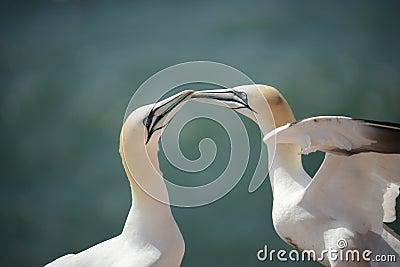 Northern Gannets (Morus bassanus)