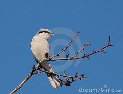 Northern Grey Shrike