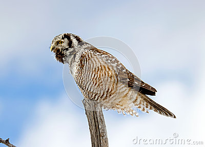 Northern Hawk-Owl Calling