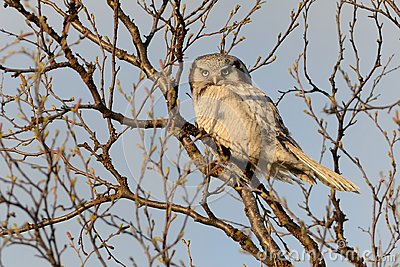 Northern Hawk Owl - Surnia ulula sitting on the tree next to the road in Varanger, Norway Stock Photo