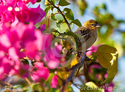 Northern Masked Weaver with flower