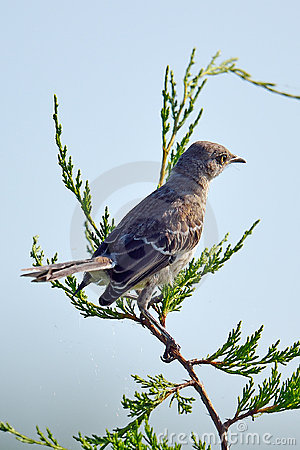 Northern Mockingbird Stock Photography - Image: 20382232