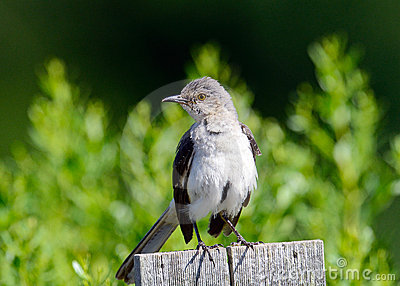 Northern Mockingbird Stock Photo - Image: 20502510
