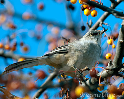 Northern Mockingbird feeding at Sunset