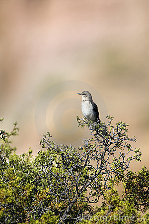 Northern Mockingbird, Mimus Polyglottos Stock Photos - Image: 19490123