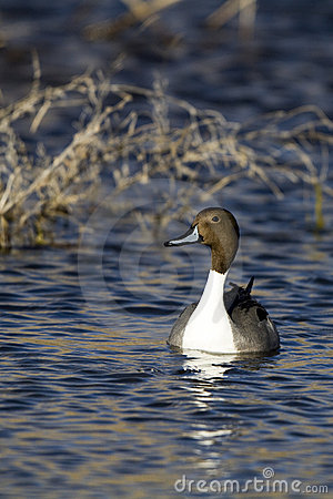 Northern Pintail, Anas acuta