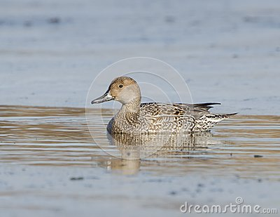 Northern Pintail ( Anas acuta)