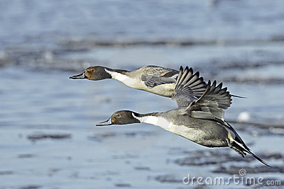 Northern Pintail Drakes(Anas acuta) in flight