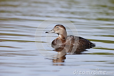 Northern pochard, Aythya ferina