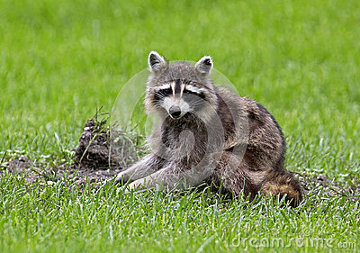 Northern Raccoon (Procyon lator)