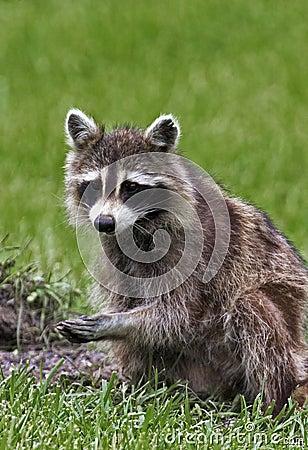 Northern Raccoon (Procyon lotor)