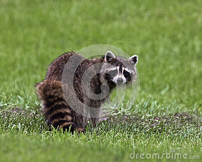 Northern Raccoon (Procyon lotor)