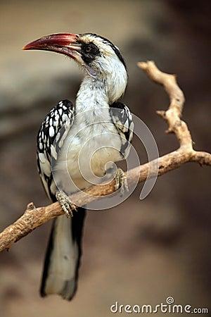 Free Northern Red-billed Hornbill (Tockus Erythrorhynchus). Stock Image - 56688511
