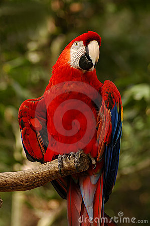 Northern Scarlet Macaw