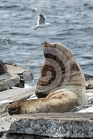 Free Northern Sea Lion Or Steller Sea Lion. Kamchatka, Avachi Royalty Free Stock Photography - 54800907
