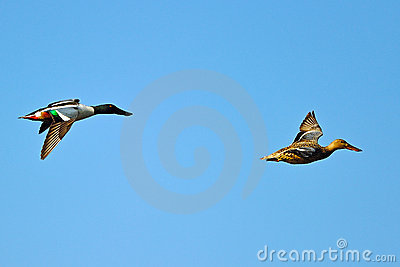 Northern Shoveler s In Flight