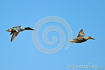 Northern Shoveler s In Flight