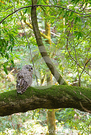 Free Northern Spotted Owl Stock Image - 45696031