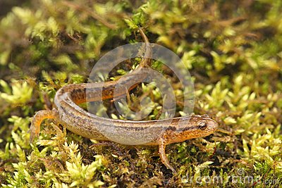 Northern Two-lined Salamander (Eurycea bislineata)