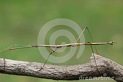 Northern Walking Stick