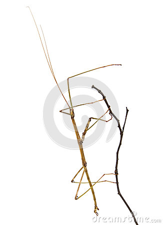 Free Northern Walking Stick On A Branch Royalty Free Stock Photos - 26481278