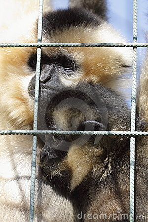 Northern white-cheeked gibbons under bars