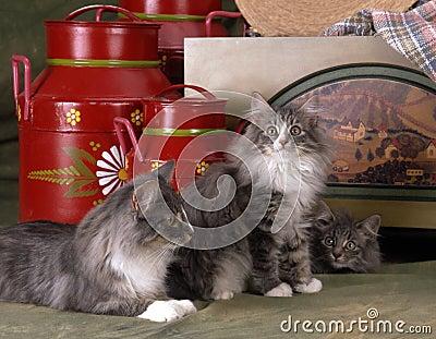 Norvegian猫