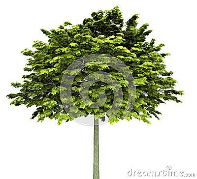 Norway maple tree isolated on white Stock Photo
