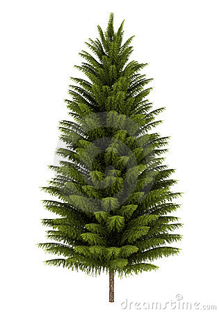 Norway spruce tree isolated on white