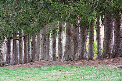 Norway Spruce Trees