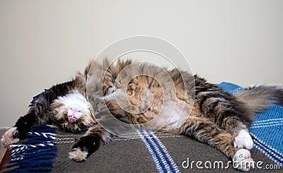 Norwegian Cat Sleeping
